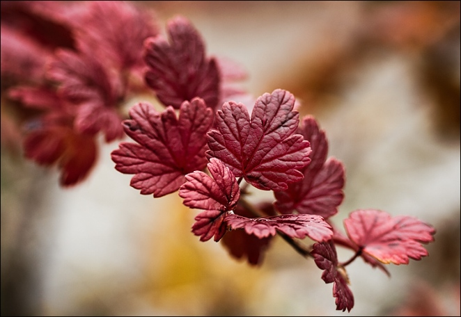 red_fall_leaf_macro_01.jpg