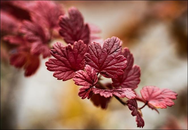 red_fall_leaf_macro_01.jpg